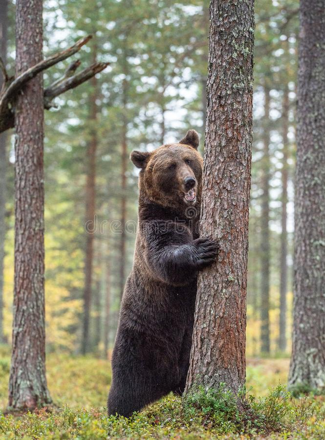 Brown bear standing on his hind legs in the autumn forest . stock image