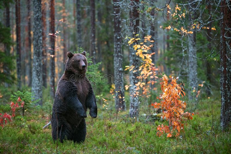 Brown bear standing on his hind legs in the autumn forest. Scientific name: Ursus arctos. Natural habitat royalty free stock photo