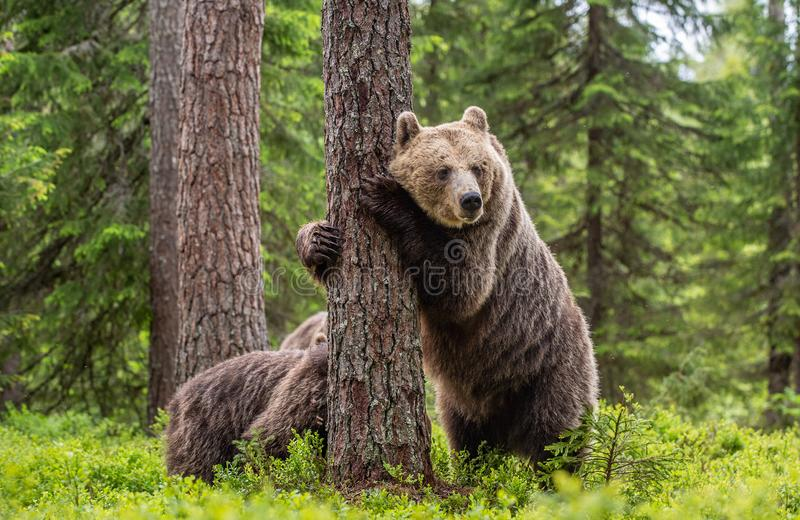 Brown bear standing on his hind legs. She-bear and cubs in the summer forest. Natural Habitat. Brown bear, scientific name: Ursus royalty free stock photo