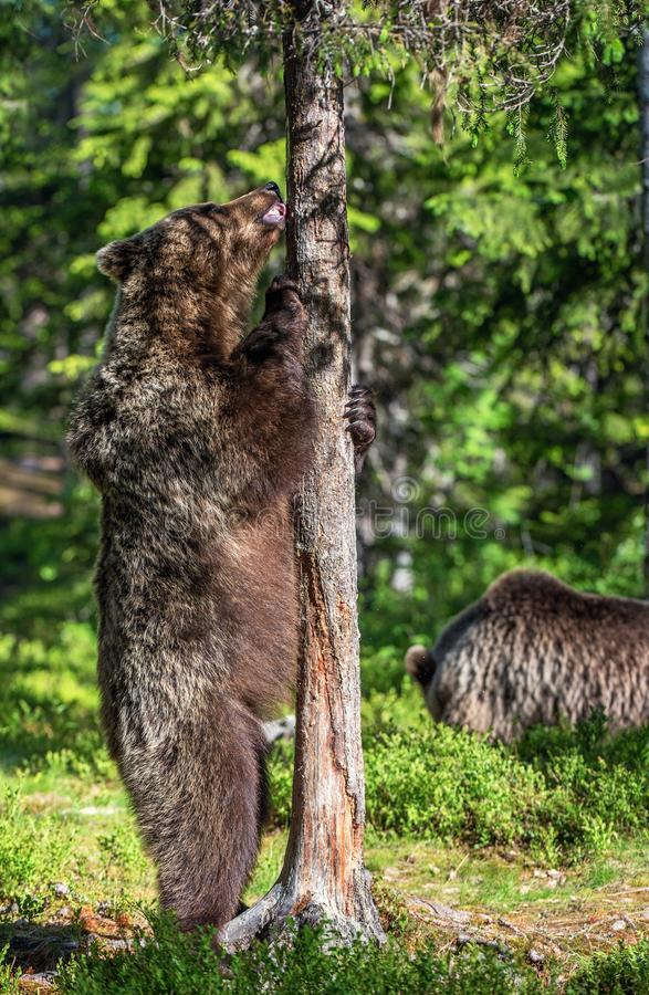 Brown bear standing on his hind legs in summer forest. stock images