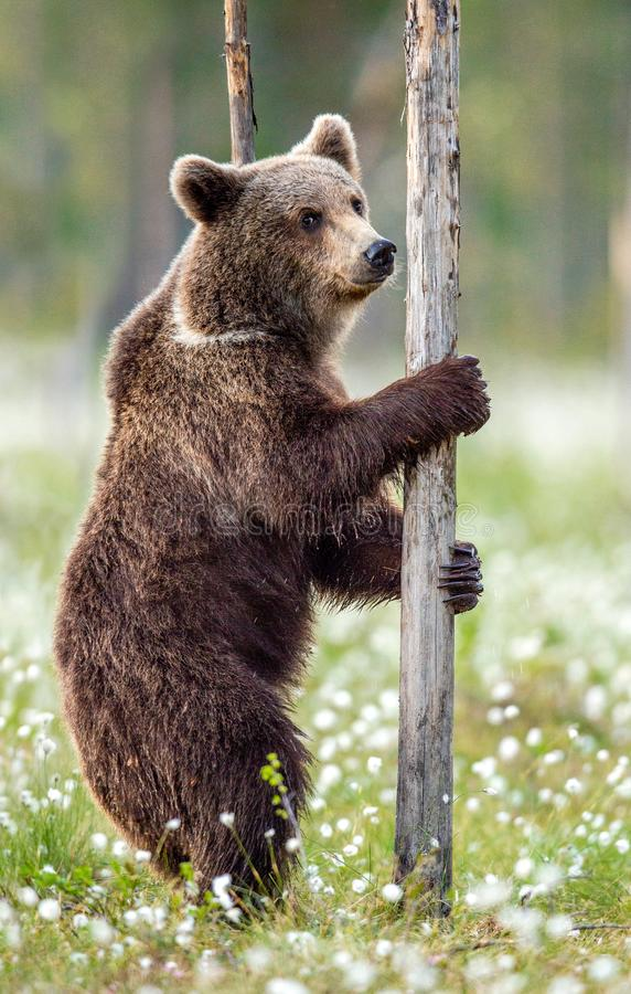 Brown bear standing on his hind legs in the summer forest among white flowers. Front view. Natural Habitat. Brown bear, scientific name: Ursus arctos. Summer royalty free stock photo
