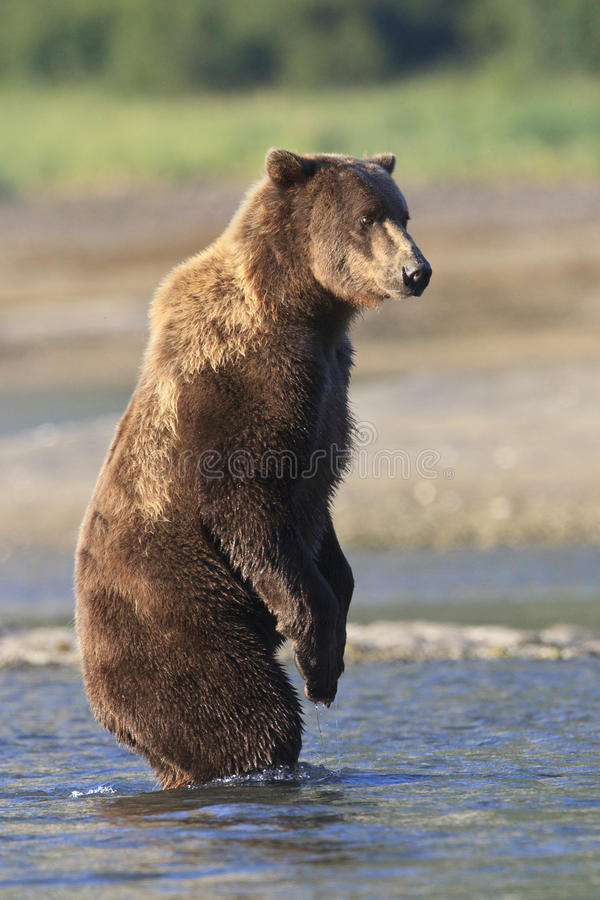 Brown bear standing in river stock image