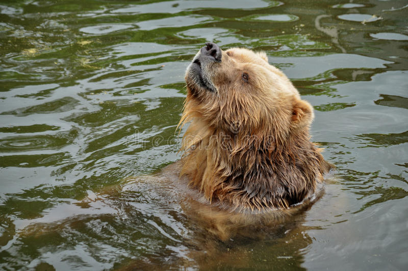 Brown bear swimming in the water. royalty free stock photography