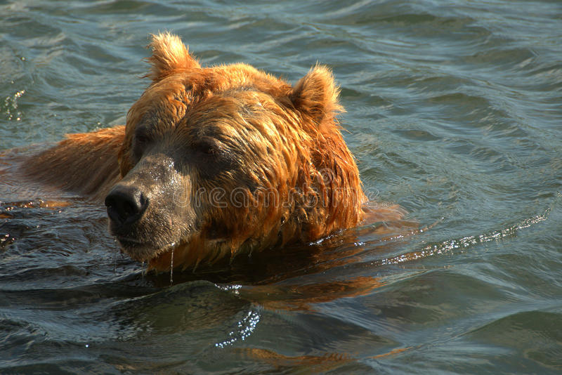 Brown bear swimming in the water royalty free stock image