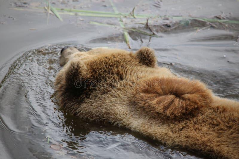 Brown bear swimming in water, macro royalty free stock images