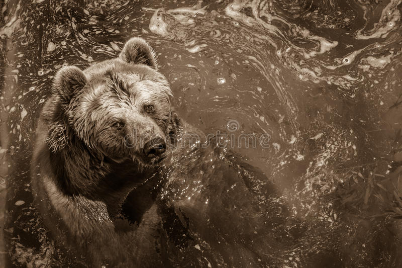 Brown bear swimming in the water in the zoo. Horizontal scene of stock photos