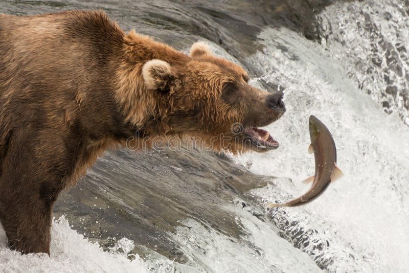 Brown bear about to catch a salmon royalty free stock photo