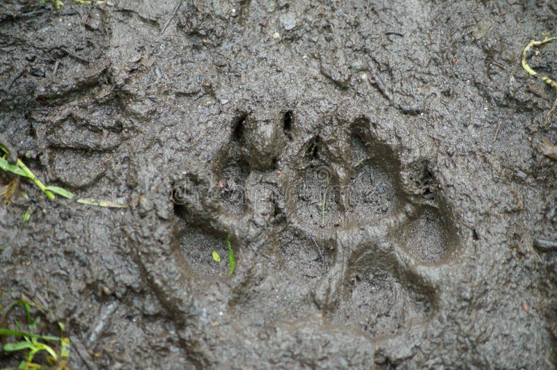 Download Brown Bear Track stock image. Image of fresh, safety - 34410211