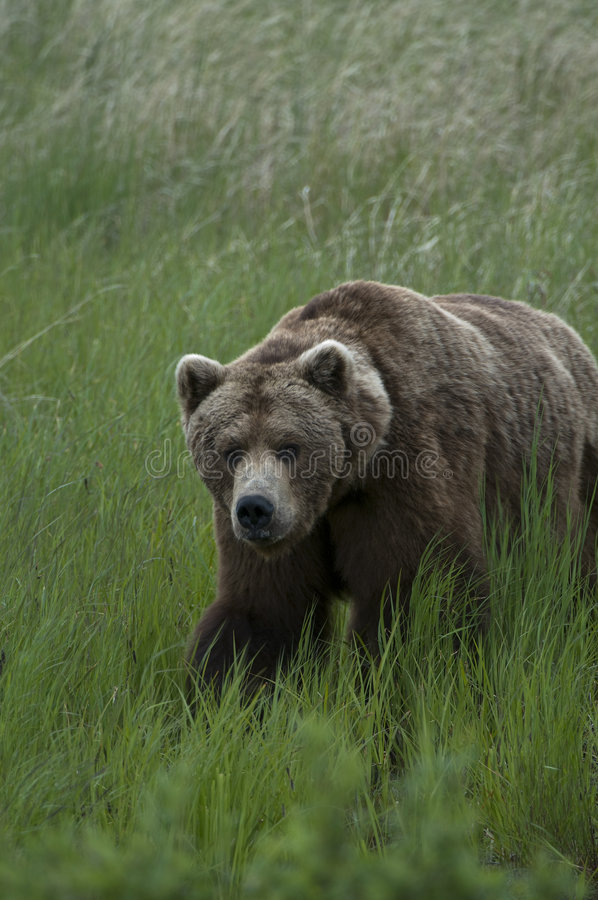 brown bear trawy, obrazy stock