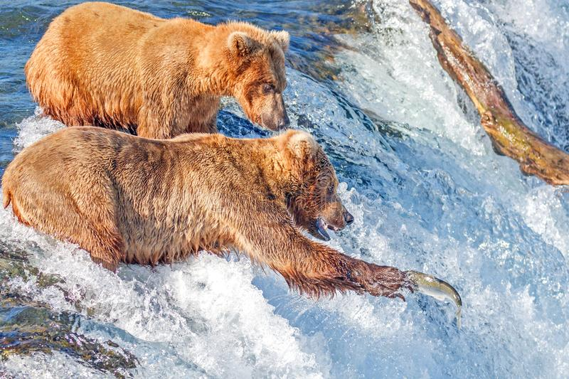 Brown bear trying to catch jumping salmon at Brooks falls, Katmai National Park, Alaska stock photography