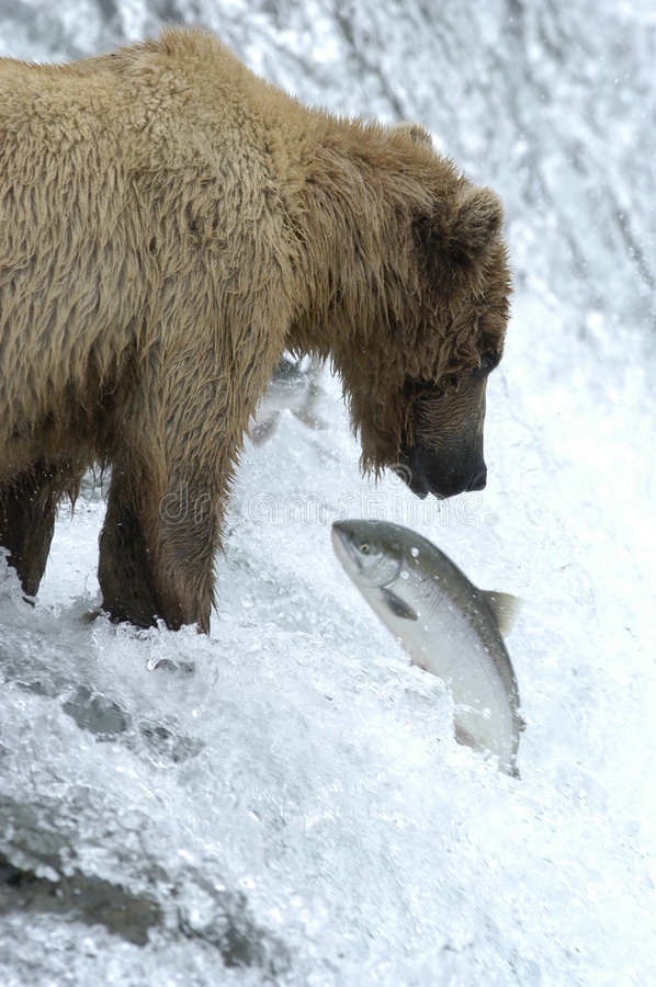 Brown bear trying to catch salmon stock images