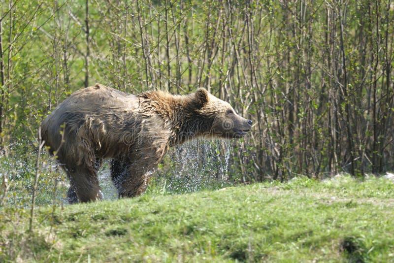 Brown bear, ursus arctos. Draining royalty free stock photos