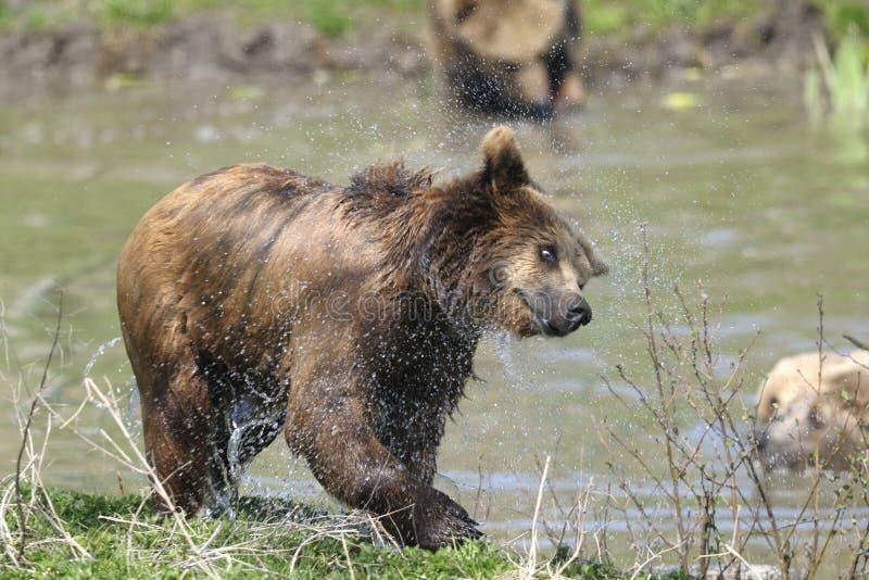 Download Brown bear, ursus arctos stock image. Image of shake - 14792919