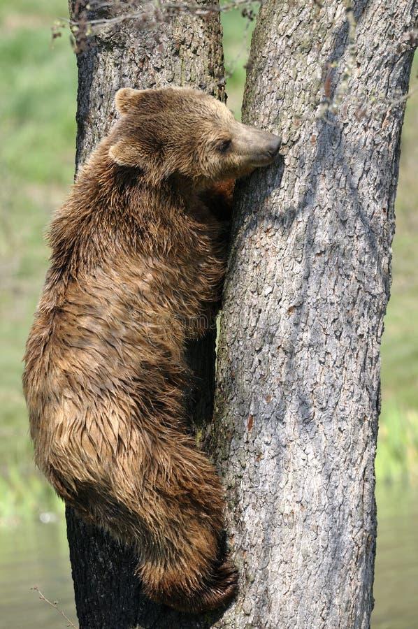 Download Brown bear, ursus arctos stock photo. Image of bear, captive - 14793026