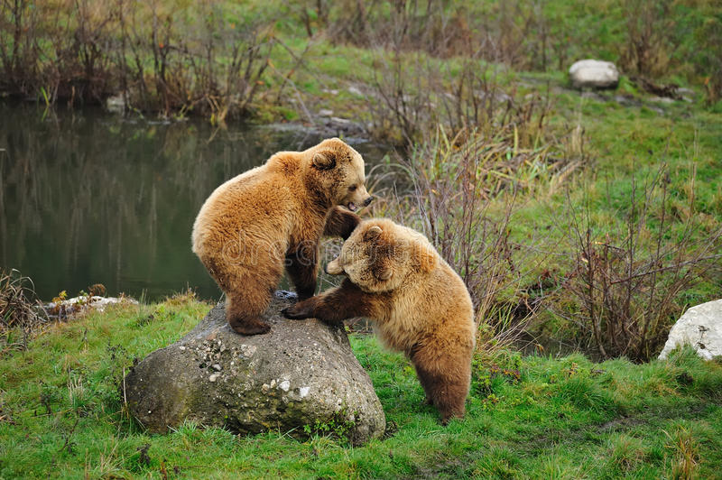 Brown bear (Ursus arctos). In the deer park Poing (Germany royalty free stock image