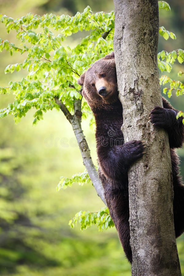 Free Brown Bear (Ursus Arctos) Stock Photography - 40745062