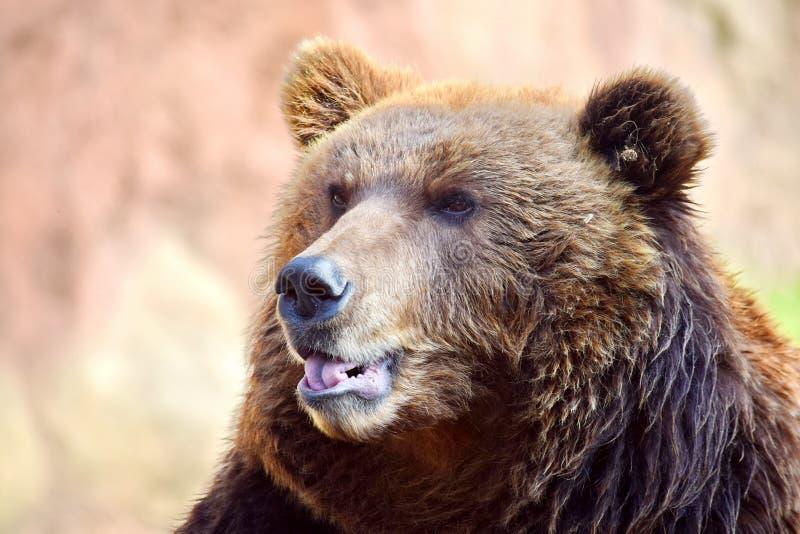 Brown Bear Ursus Arctos Beringianus Head Closeup stock photography