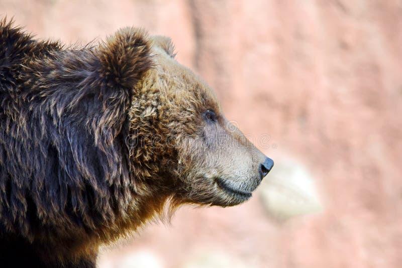Brown Bear Ursus Arctos Beringianus Head Closeup Portrait stock image