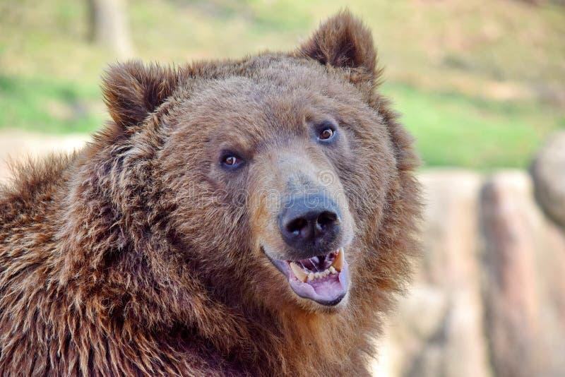Brown Bear Ursus Arctos Beringianus Head Closeup Portrait stock images