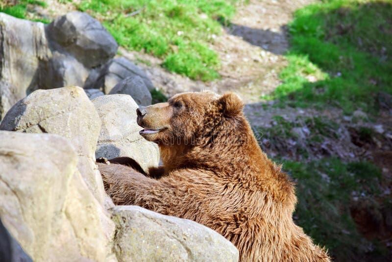 Brown Bear Ursus Arctos Beringianus Leaning Against Rock stock photos