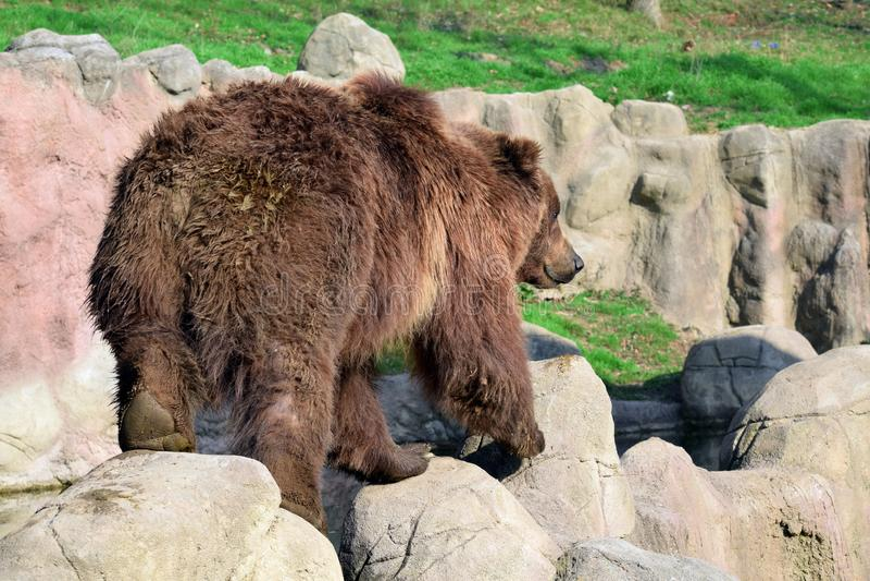 Brown Bear Ursus Arctos Beringianus on Rock royalty free stock image