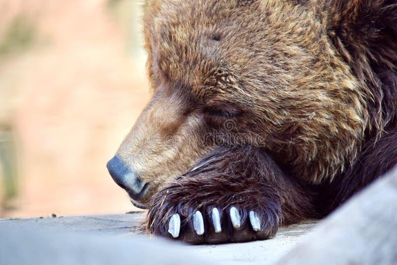Brown Bear Ursus Arctos Beringianus Sleeping Closeup stock photography