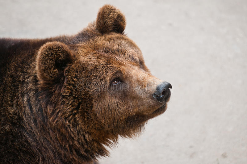 Download The Brown Bear Stock Photo - Image: 32491160