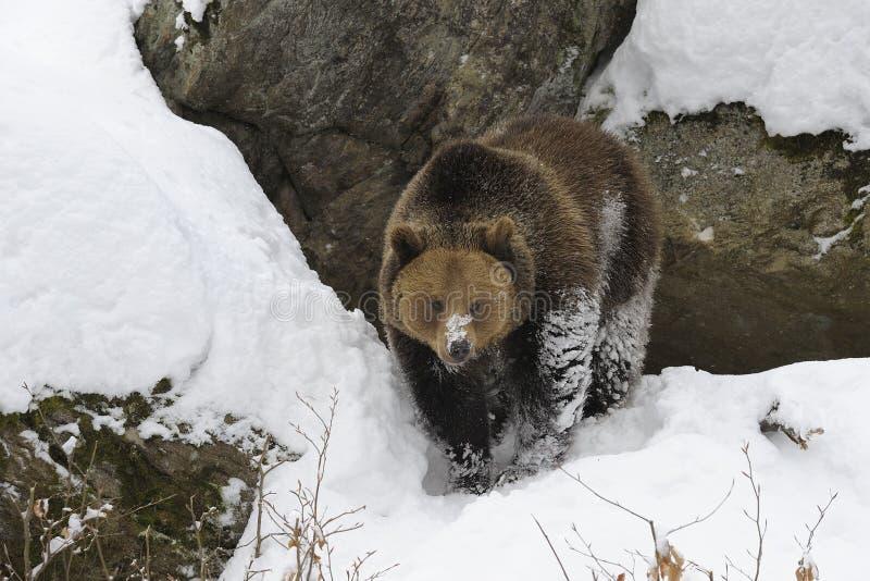 Brown Bear in deep snow stock photo