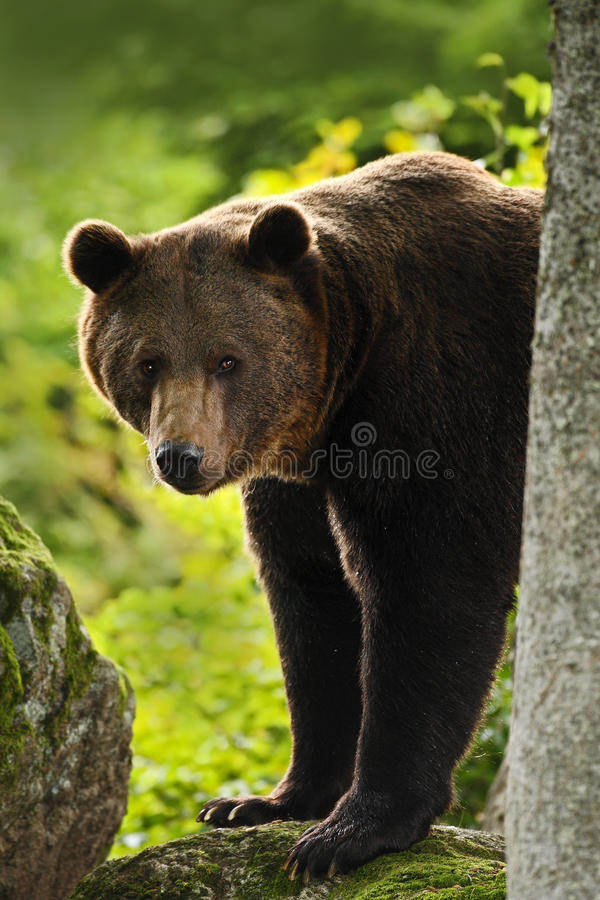 Brown bear, Ursus arctos, hideen behind the tree trunk in the forest. Face portrait of brown bear. Bear with open muzzle with big. Brown bear, Ursus arctos stock photo