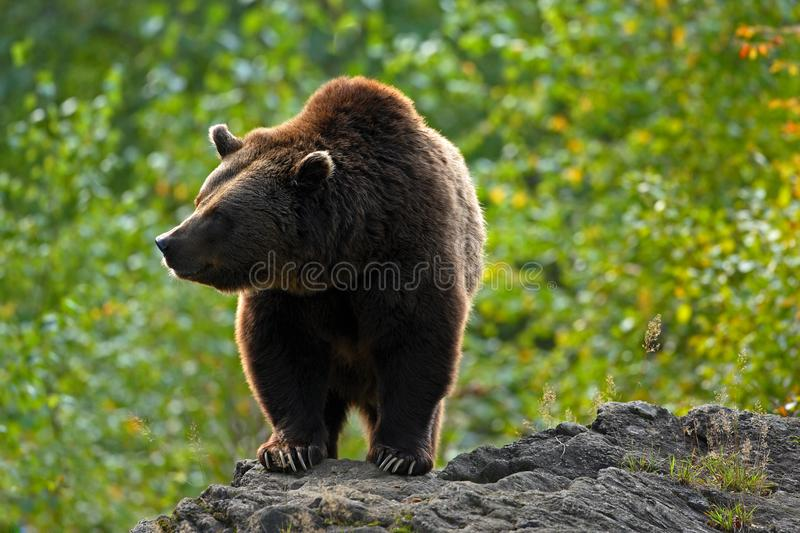 Brown bear, Ursus arctos, hideen behind the tree trunk in the forest. Face portrait of brown bear. Bear with open muzzle with big. Brown bear, Ursus arctos stock image