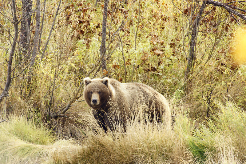 Download Brown Bear (Ursus Arctos Jeniseensis) Stock Image - Image of claws, nature: 8346595