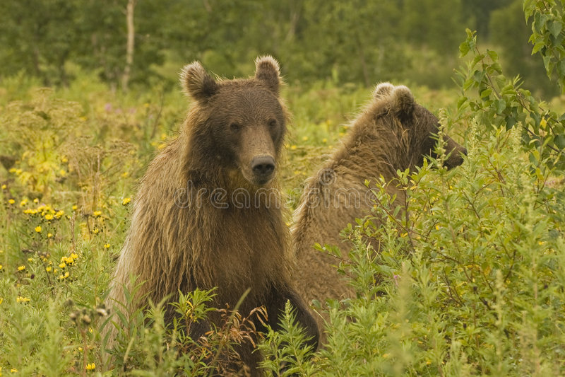 Download Brown Bear (Ursus Arctos Jeniseensis) Stock Photo - Image of nature, brown: 8367008