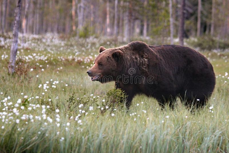 The brown bear Ursus arctos male walking in the green grass and tracking a female stock photo