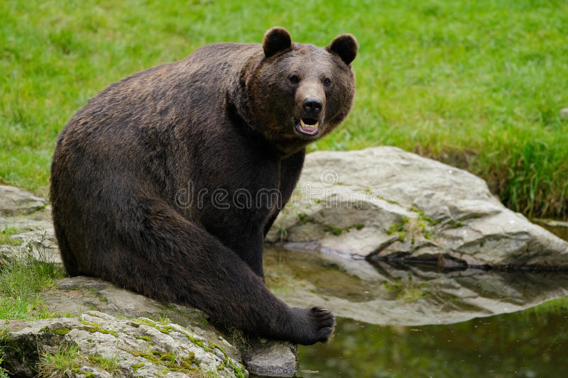 Brown bear, Ursus arctos, sitting on the stone, near the water pond stock photography