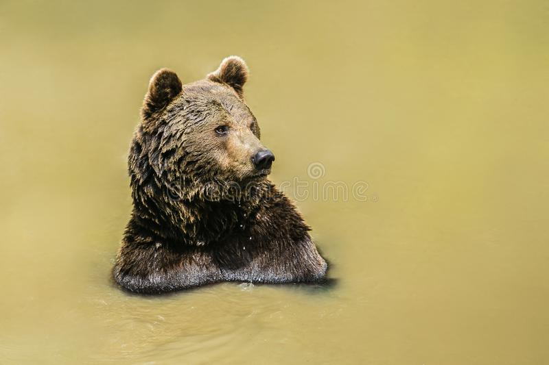A brown bear, Ursus arctos, taking a bath in muddy water. Having wet fur, sunny day in National Park Bayerischer wald, looking happy, blurry background, copy stock images