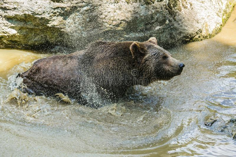 A brown bear, Ursus arctos, taking a bath in muddy water, shaking off water. Hot sunny day in National Park Bayerischer wald, a piece of rock in background royalty free stock images