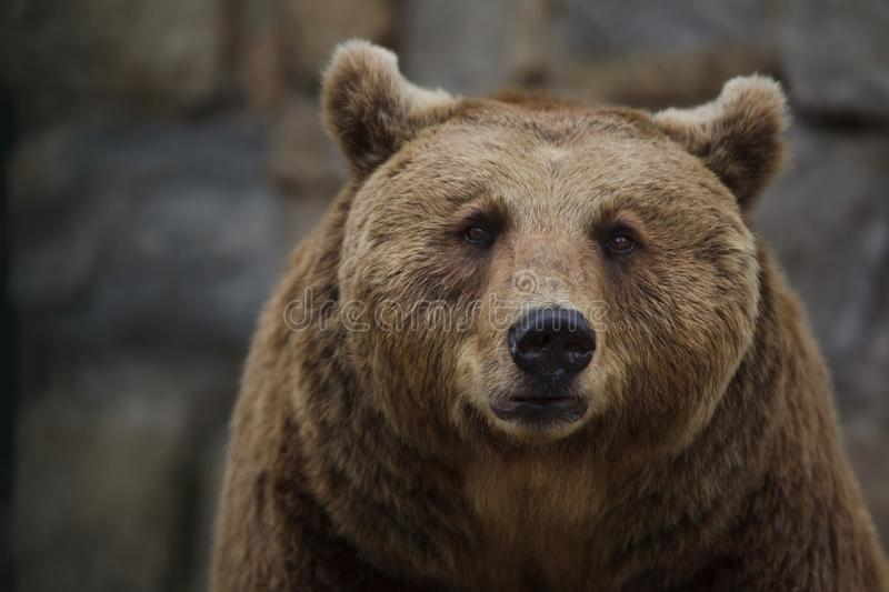 Brown bear Ursus arctos stock photos