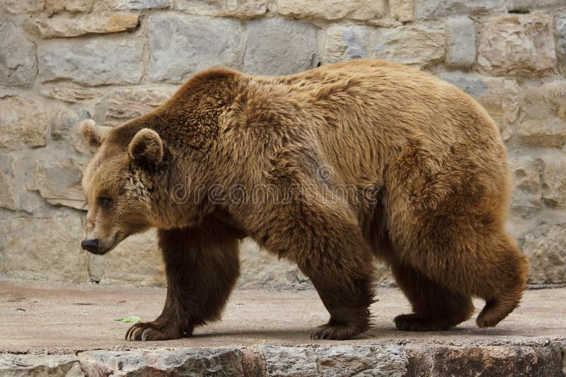 Brown bear Ursus arctos stock images