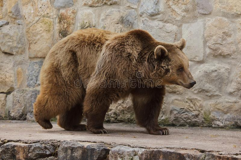 Brown bear Ursus arctos stock image