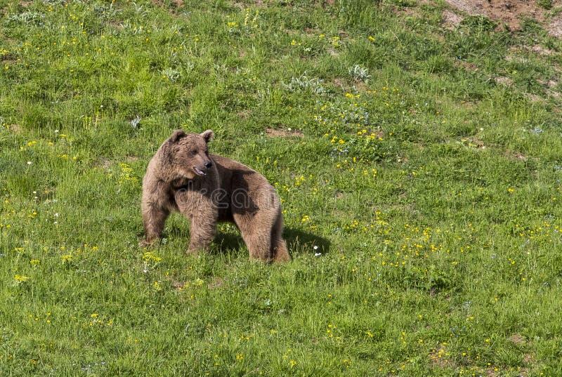 Brown Bear & x28;Ursus arctos& x29; is zowel vleesetend als autistisch dier royalty-vrije stock foto's