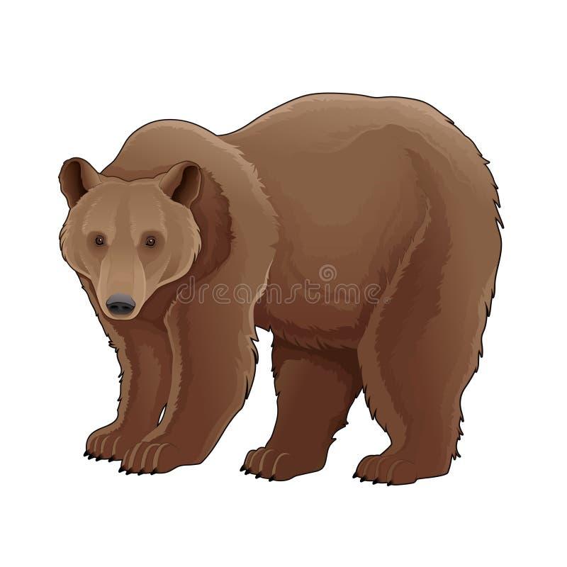 Brown bear. Vector animal