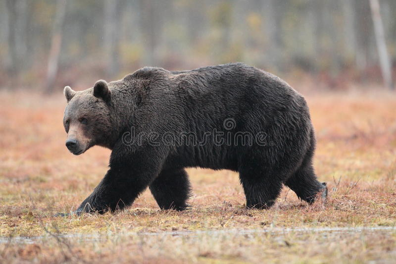 Brown bear. royalty free stock image