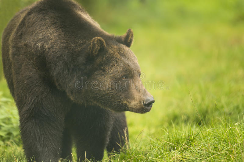 Brown bear. Walking in the forest looking aside royalty free stock image