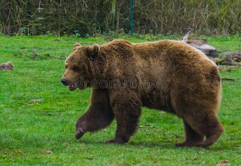 Brown bear walking through the grass, common animal in Eurasia and north America, popular zoo animals. A Brown bear walking through the grass, common animal in stock photos