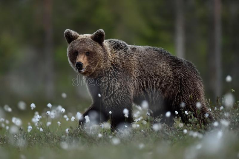Brown bear walking at night i. N the bog with forest background royalty free stock photos
