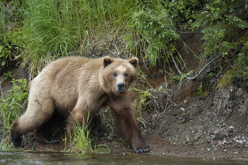 Brown bear walking on river bank royalty free stock image