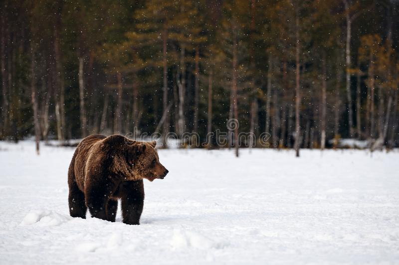 Brown bear walking in the snow. Big brown bear photographed in late winter while walking in snow in the Finnish taiga royalty free stock photography