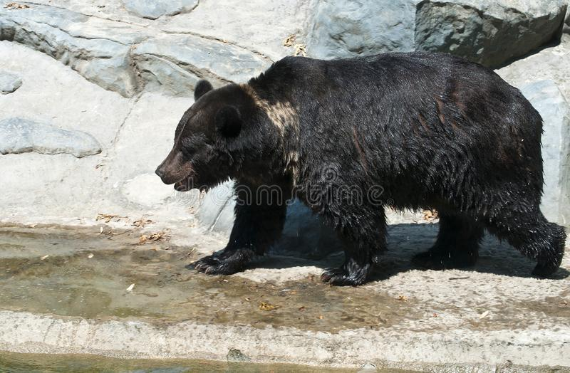 Brown bear by the water stock images
