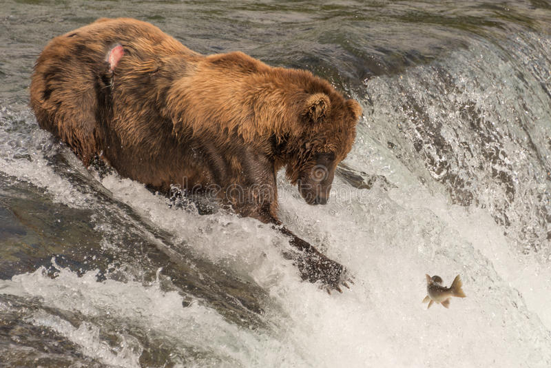 Brown bear on waterfall stares at salmon stock images