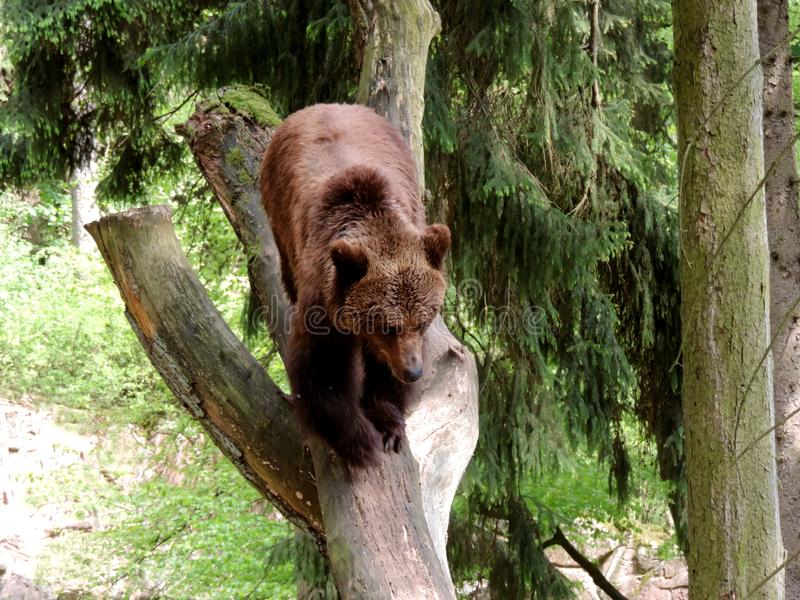 Brown Bear, Wilderness, Nature Reserve, Terrestrial Animal stock image